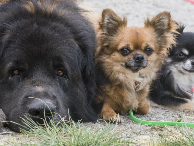 Studie: Haustiere von Corona-Infizierten stecken sich oft an