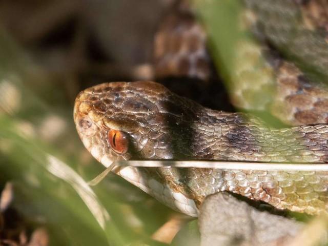 Schlangenbiss - und jetzt? So verhält man sich nach einer Attacke richtig