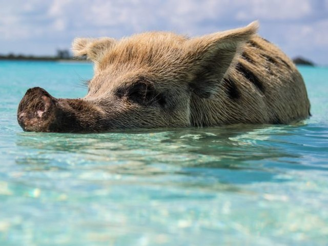 Bahamas: Schwein beißt Instagram-Model in den Po
