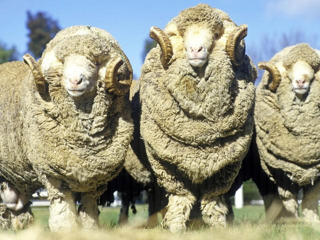 """Merinoschafe in Australien: Tierschutzproblem """"Mulesing"""" – Warum Merinowolle oft mit Tierleid einhergeht"""