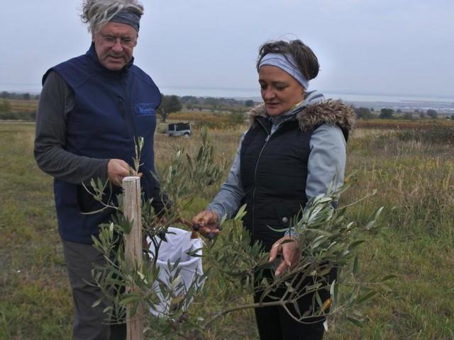 Mörbisch: Ein Olivenhain mit Seeblick