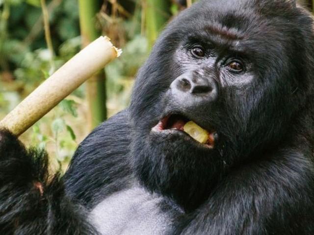 Zerstörung: Menschenaffen inAfrika droht Verlust des Lebensraums