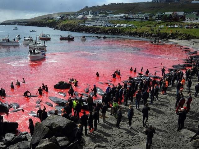 Blutige Tradition auf den Faröer-Inseln: Tausende getötete Delfine