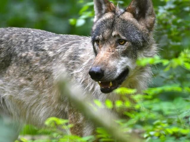 DNA-Proben bestätigten zwei Wolfsrisse in Salzburg