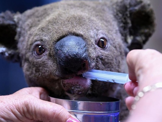 Buschbrände bringen Hunderte Koalas in Gefahr