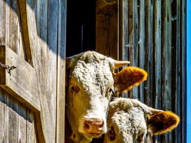 Planquadrate zum Schutz der Almen und Kühe geplant