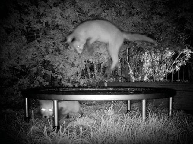 Kurze Video-Recherche und klar ist's: Füchse. Lieben. Trampoline!