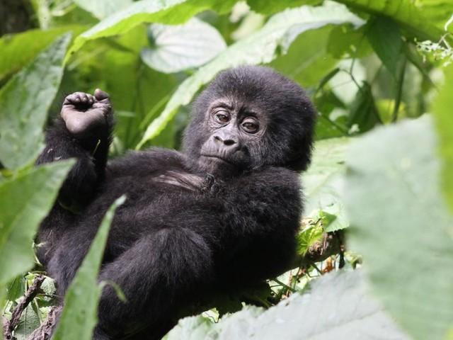 """Ein Ranger in Uganda erzählt: """"Gorillas mögen Weiße lieber"""""""