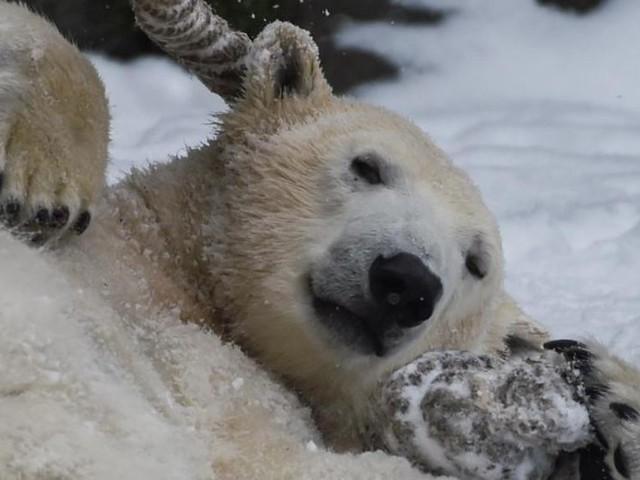 Berliner Tierpark: Schock über Inzucht bei Eisbären