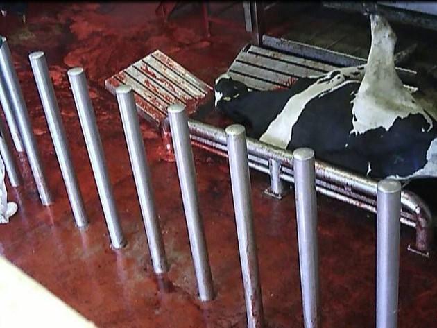 Tierquälerei unter staatlicher Aufsicht : Amtstierärzte sahen tatenlos zu