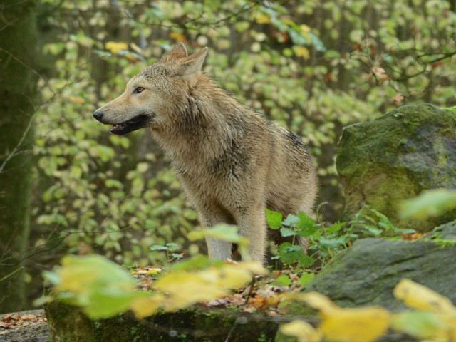 Wolfs-Aktionstag am 18. August 2018 im Allwetterzoo Münster