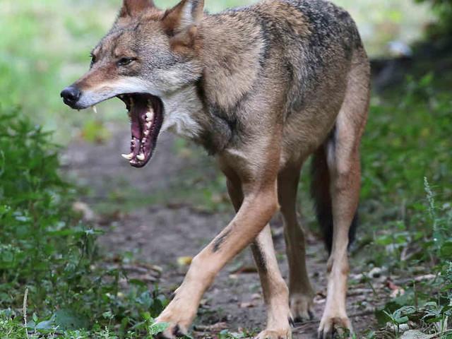 """Wildtiere breiten sich aus: Wölfe """"werden in Zukunft Nachwuchs haben"""""""