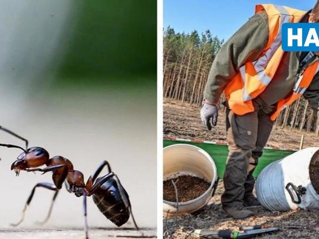 Im Einsatz für den Frauenstaat: Wie Freiwillige Ameisen beim Überleben helfen