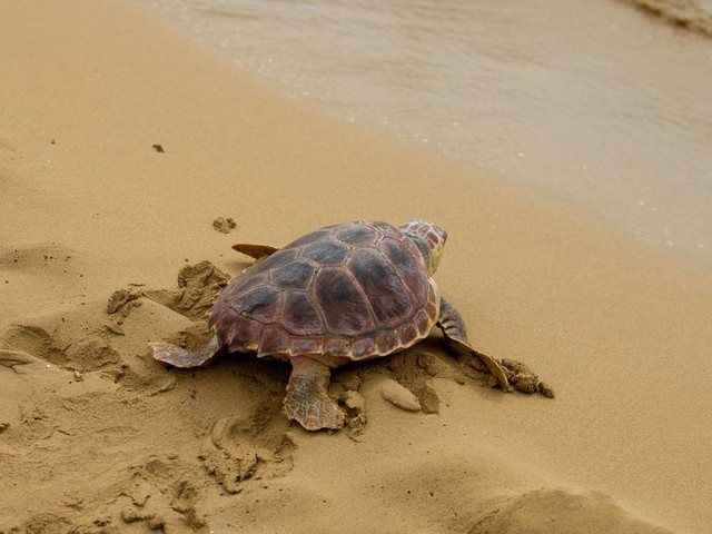 Wieso fressen junge Schildkröten Plastikmüll? Forschende gehen von erlerntem Verhalten aus