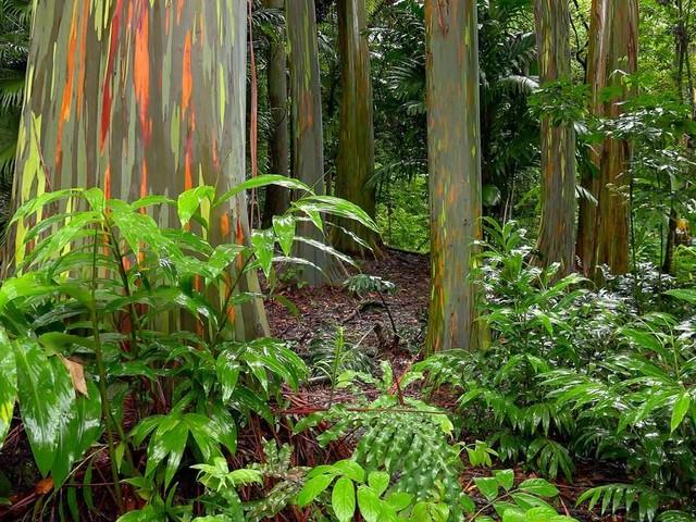 Regenbogen-Eukalyptus pflanzen: So klappt die Anzucht aus Samen