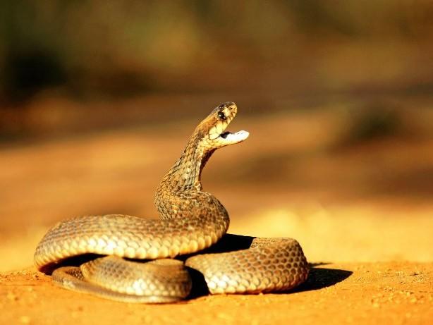 Ausgebüxtes Tier: Kobra in Herne: Teures Nachspiel für mutmaßlichen Besitzer?