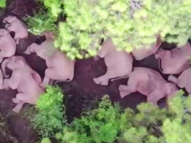 Dösende Dickhäuter: Seit Monaten unterwegs: Hier tankt die berühmteste Elefantenherde der Welt Kraft