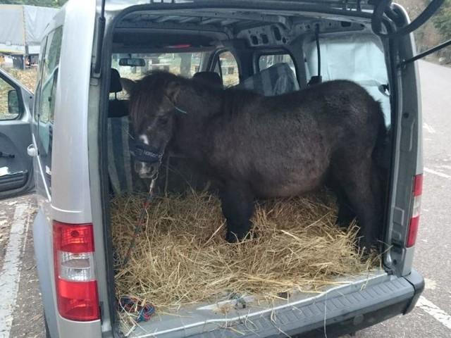 Polizei staunt: Frau transportiert Pony im Kofferraum