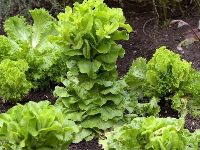 Salat schießt: Ob die grünen Blätter dann noch essbar sind