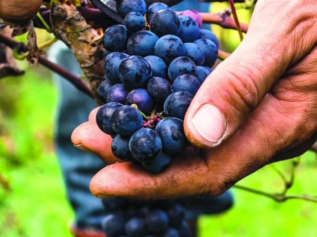 Handarbeit: Wie aus Trauben süffiger Wein wird