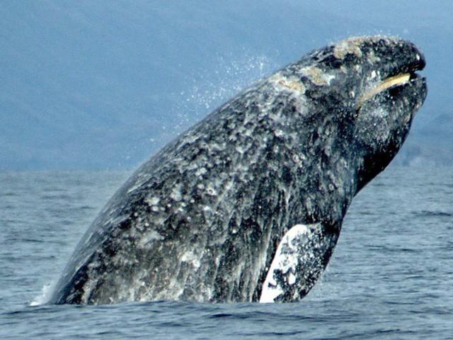 Rekorde im Tierreich: Wal schwimmt neuen Streckenrekord von 27000