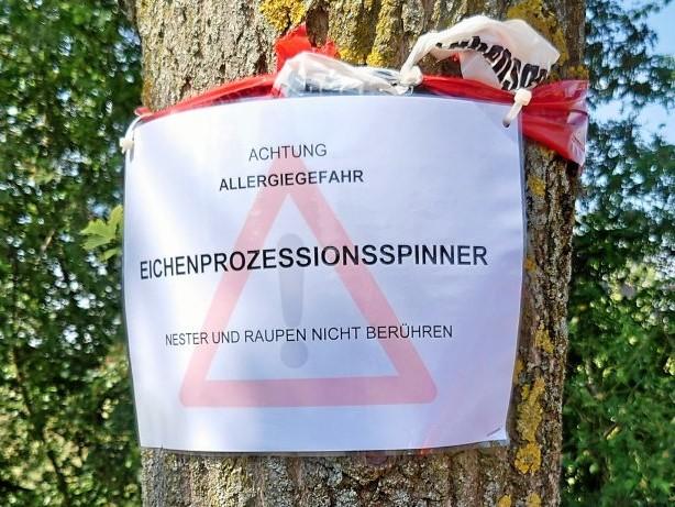 Umwelt: Eichenprozessionsspinner in Arnsberg: Allergien drohen