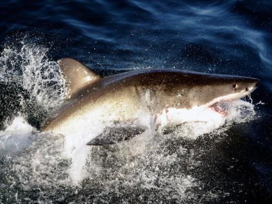 Blutiger Hai-Angriff! Surfer schwer verletzt