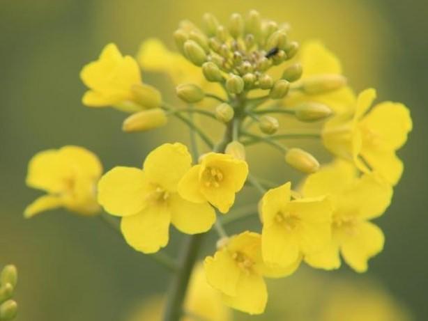 Wetter: Pflanzen warten auf Regen: Rapsblüte beginnt