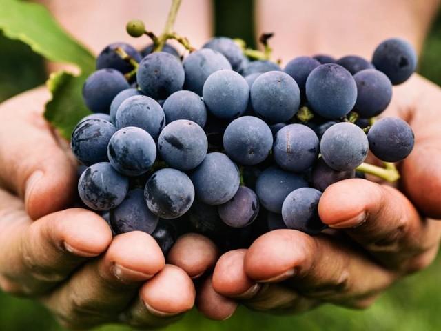 Die Trauben sind reif, auf zum Weinlesen: Die besten Tipps rund ums Wochenende!