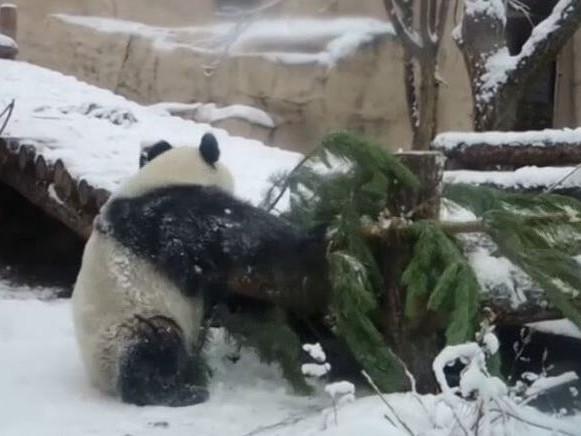 Verspielter Panda erkundet Tannen