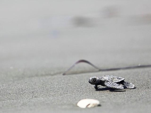 Schildkröten schlüpften erstmals auf Strand von Jesolo aus den Eiern