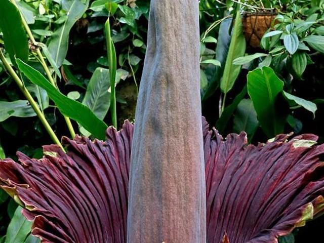 Titanenwurz - Größte Blume der Welt in der Stadt Salzburg aufgeblüht