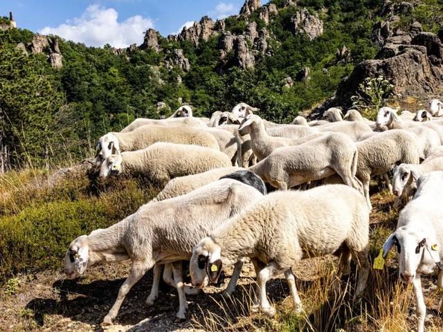 Schafe sichern Artenvielfalt und Diversität in der Wachau