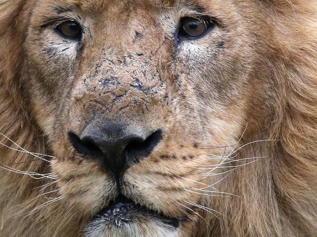 Löwen und Tiger im Zoo positiv auf Corona getestet
