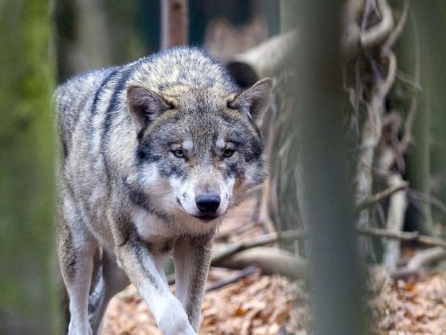 """Wölfin """"Gloria"""" darf nicht erschossen werden ‒ Schäfer verliert vor Gericht"""
