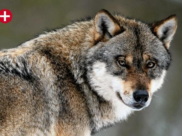 Wolfs-Nachweis: Marsberg jetzt Pufferzone für den Wolf – Das sind die Folgen