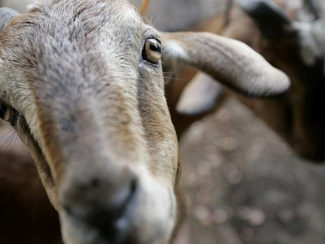 Bei Freiburg: Ziege läuft aus Liebeskummer auf die Autobahn