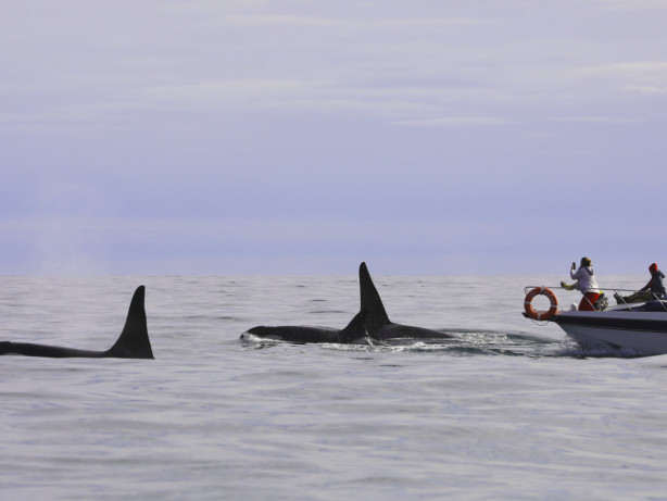 Mysteriöse Orca-Angriffe vor Spanien: Forscher rätseln über Ursachen