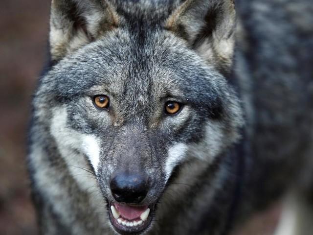 """Amtsärzte jetzt auch """"Wolfsermittler"""""""