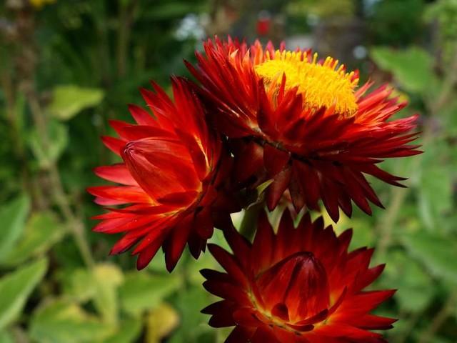 Garten-Strohblume: So wachsen die bunten Blüten mit dem hohen Zierwert auch in Ihrem Garten