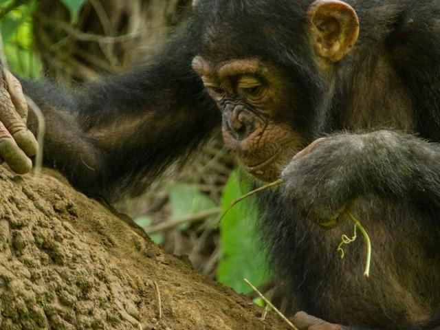 Forscher entdeckten an Lepra erkrankte Schimpansen im Dschungel