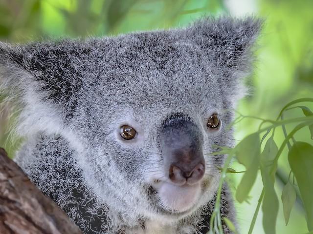 Population schrumpft dramatisch: Studie: Immer weniger Koalas in Australien