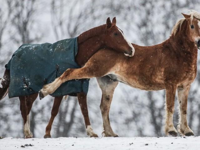 Haustiere: Das Pferd als Klimasünder