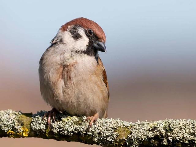 Feldsperling: Deshalb braucht der treue Vogel Ihre Hilfe