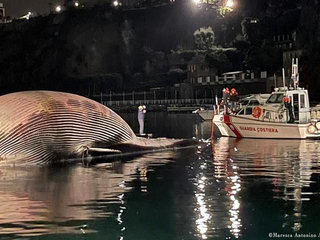 70 Tonnen schwer:Toter Riesenwal im Mittelmeer geborgen