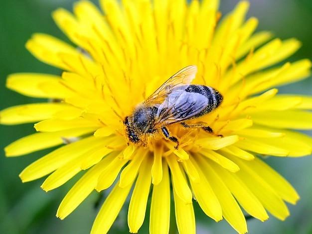 Zum Weltbienentag: Gute Blume, schlechte Blume - Bienen mögen keine Dahlien