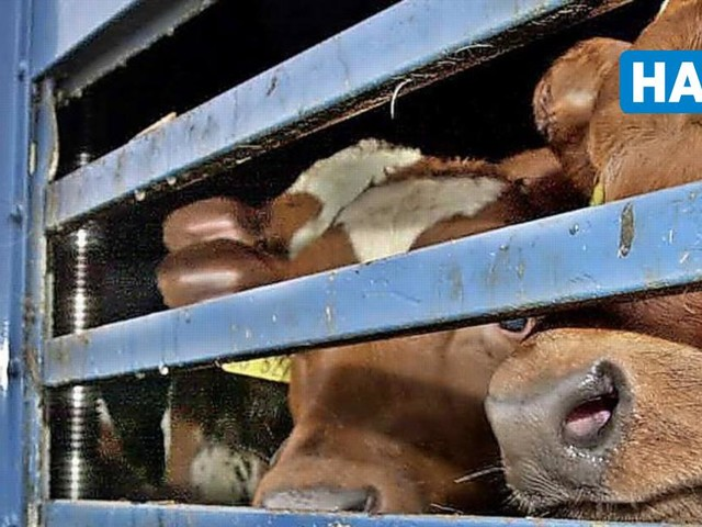 Rindertransporte nach Marokko: Bundesrat bereitet Verbot vor