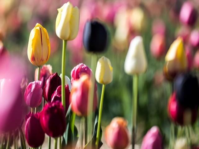 Touristen-Nepp: Tulpen aus Amsterdam ... blühen nie