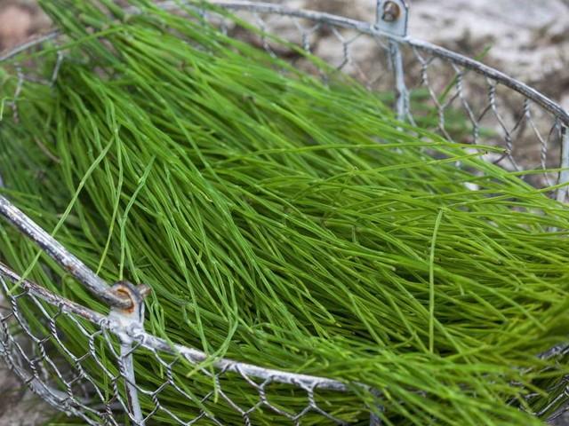 Acker-Schachtelhalm: Unkraut oder nützliche Pflanze?