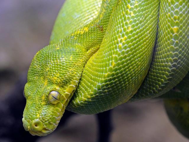Würgeschlange ausgebrochen: Haldensleben sucht einen Python: Drei-Meter-Schlange wohl in der Stadt unterwegs